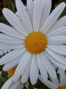 Nov 4 2013 Spring Daisy