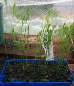 Delicate Asparagus seedlings