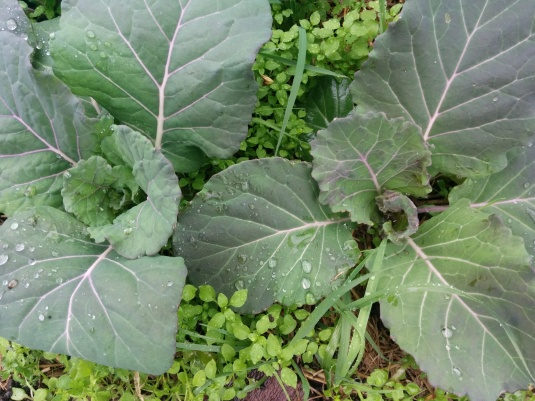 Italian Purple Savoy Cabbages with baby weeds!