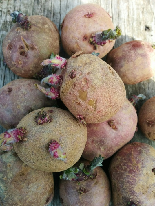 Red Norland Seed Potatoes